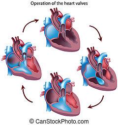 La operación de las válvulas del corazón