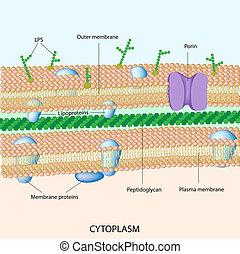 La pared de células bacterianas dañadas
