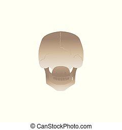 La parte posterior del cráneo humano - vista desde atrás