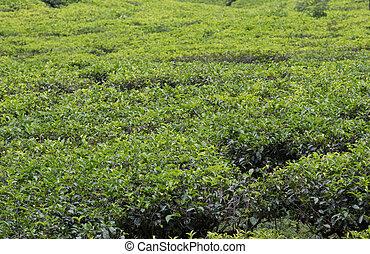 La plantación de té de sri lanka