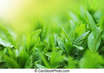 La plantación de té está cerca