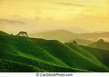 La plantación de té malaysia