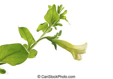 La primera flor de petunia pendula aislada sobre el fondo blanco, elemento de diseño para la frontera de una página