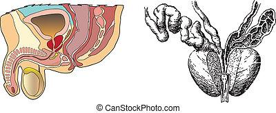 La prostatitis es una ilustración