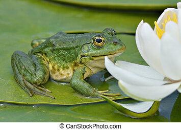 La rana Marsh se sienta en una hoja verde
