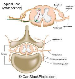 La sección de la médula espinal