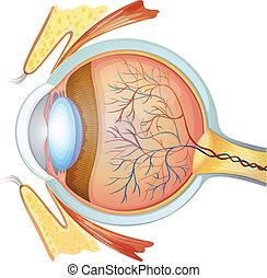La sección de los ojos humanos