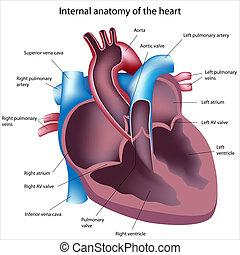 La sección del corazón está etiquetada