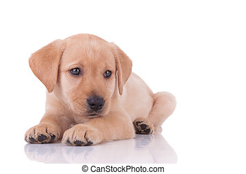 labrador, adorable, plano de fondo, blanco, perro cobrador