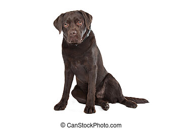 Labrador de chocolate