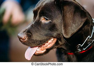 Labrador de chocolate.