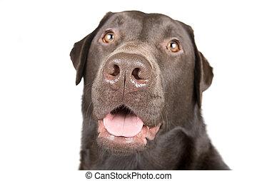 Labrador de chocolate sonriente