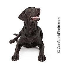 Labrador perro labrador mirando hacia arriba