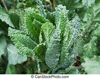 lacinato, (, orgánico, col rizada, kale), col rizada, italiano, toscano