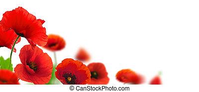 Las amapolas rojas sobre un fondo blanco. Diseño floral para un ángulo de página. El cierre de las flores con foco y efecto borroso