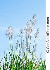 Las cañas blancas en el fondo del cielo azul