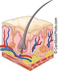 Las capas de piel y poros