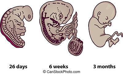 Las fases sucesivas del desarrollo embrionario humano