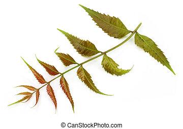 Las hojas medicinales tiernas