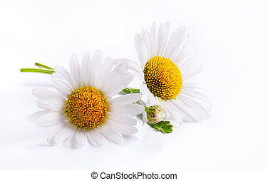 Las margaritas de arte florecen en blanco aislados en el fondo blanco