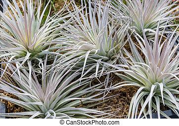 Las plantas Tillandsia se venden en la guardería