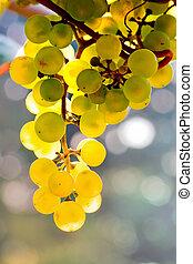 Las uvas amarillas crecen en la vid bajo el sol