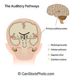 Las vías auditivas, Eps10