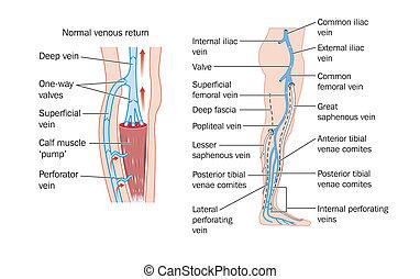 Las venas de las piernas