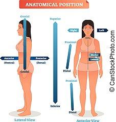 lateral, medial, illustration., superior, vector, ubicaciones, anatómico, inferior, anterior, bien, trasero, lados, esquema, próximo, distal, posiciones