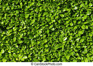 Laurel se va, cerca de verdes arbustos de laurel