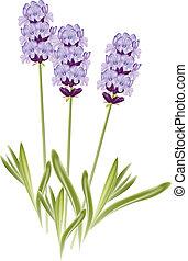 (lavandula)., lavanda, ilustración, fondo., vector, flores blancas
