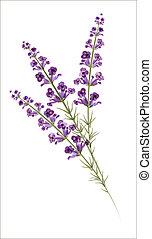 lavender., acuarela, vector, drawing.