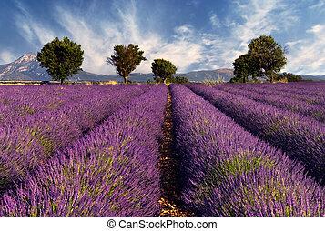 Lavender Field en Provenza, Francia