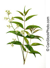 leaves-azadirachta, indica, neem