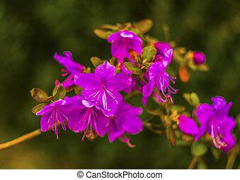 Ledum. Ledum palustre (Rhododendron tomentosum) planta en el bosque