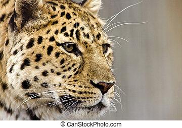 Leopardo cerca