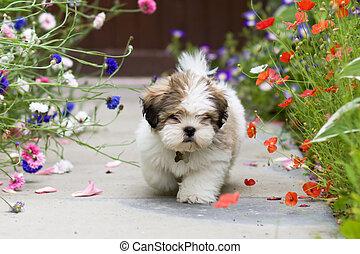 Lhasa apso cachorro