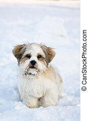 Lhasa apso cachorro en la nieve
