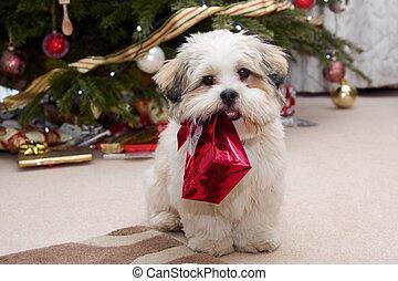 Lhasa apso cachorro en Navidad