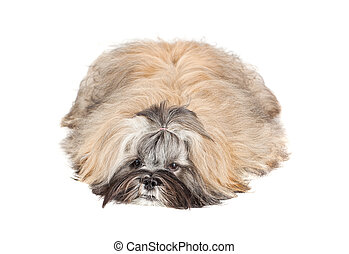 Lhasa apso cachorro tirado en blanco