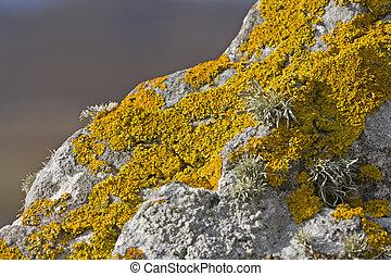 Lichen amarillo en piedra