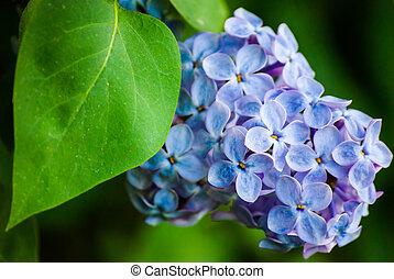 Lila azul en hojas verdes