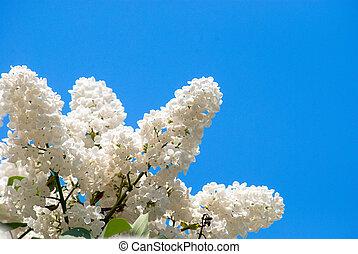 Lila blanca en el cielo azul