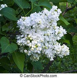 Lila blanca. Flores lilas florecientes. Trasfondo abstracto. Flores lilas