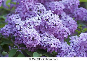 lila, flores del resorte