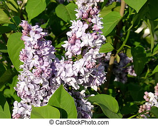 Lilac azul