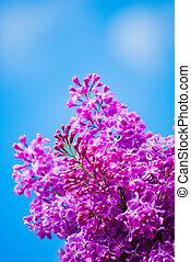 Lilac púrpura en el cielo azul
