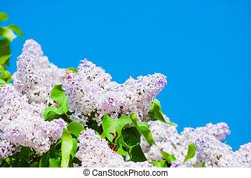 Lilac rosa en el cielo azul