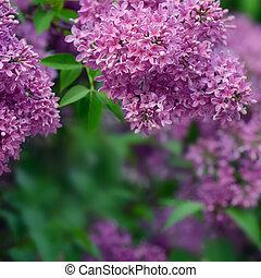 Lilas florecientes