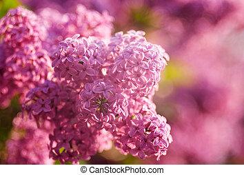 Lilas flores como orígenes abstractas naturales con hermoso bokeh